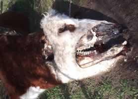 Gado Mutilado na Argentina